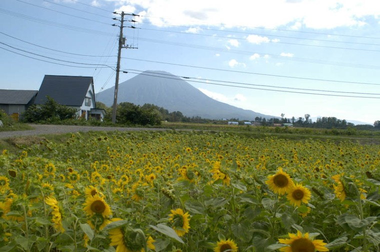 Unfortunately these were the only sunflowers still alive so I was stuck with the power lines in the photo.